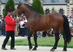 Haras national -  Présentation d'un étalon Cob Normand au haras de St-Lô, France