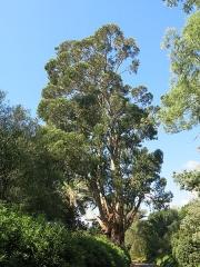Domaine du Rayol - English: Domaine du Rayol - Eucalyptus globulus. Rayol-Canadel-sur-Mer (Var, France).