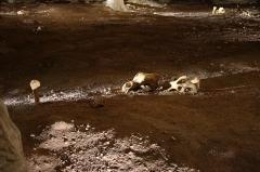 """Grotte ornée du paléolithique supérieur située au lieudit """"Combe d'Arc"""" dite grotte Chauvet - Deux crânes d'ours, un os a été planté verticalement dans le sol. Caverne du Pont d'Arc (copie de la Grotte Chauvet), anthropologie (trace d'un geste humain)."""