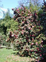 Domaine de la Bambouseraie de Prafrance -  Camellia Japonica, à la fr:Bambouseraie de Prafrance à fr:Anduze (fr:Gard)