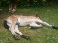 Château de Comper - English: Foal Breton horse x Friesian horse. Breton mother and Friesian father