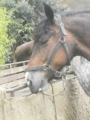 Château de Comper - English: Breton x Shire draft horse crossed