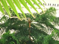 Domaine dit d'Albert Kahn - English: Araucaria heterophylla in Le plamarium of Jardin du Musée Albert-Kahn Map: 48° 50' 30