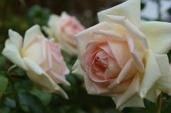 Roseraie du conseil général du Val-de-Marne, ancienne roseraie Gravereaux - English: Photo of Prince Jardinier, a rose by Meilland, in the Roseraie du Val-de-Marn