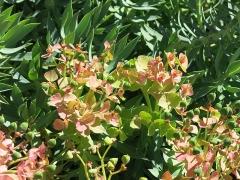 Domaine des Colombières - English: Euphorbia rigida in the domaine des Colombières (Alpes-Maritimes, France).
