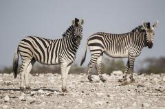 Sous-préfecture - Afrikaans: Bontkwagga en Bergkwagga in Etoshawildtuin, Namibië.