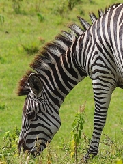 Sous-préfecture - English: Zebra in Arusha National Park 2015
