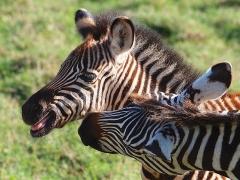 Sous-préfecture - English: Zebra, Ngorongoro (2015)