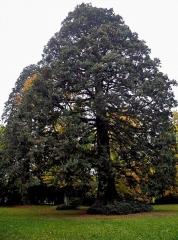 Ancien domaine de Windeck, dit Foyer de Charité - Deutsch: Riesenmammutbaum im Park des Foyers de Charité in Ottrott