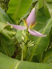 Muséum d'Histoire Naturelle -  Description: Fleur de bananier dans le Jardin de l'Etat, novembre 2004, Saint-Denis de la Réunion  Source:Bouba