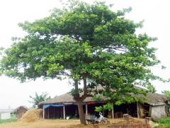 Muséum d'Histoire Naturelle - Tiếng Việt: Một cây bàng ở Bình Định, Việt Nam.