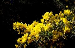 Obélisque - Français:   Ajoncs (Ulex europaeus) en fleur (mai 2001) sur le site de la colonne (obélisque) d'Helfaut.  Le site (lieux dit: Les bruyères) était autrefois entouré d'une vaste étendue de landes à bruyère (Bruyère centrées = Erica cinerea principalement sur cette partie relativement sèche). Après remodelage et apports de nouveaux matériaux elles ont pour la plupart disparu, au profit d'une végétation banale. En 2001, les ajoncs avaient beaucoup grandi et colonisé la partie périphérique basse du site, avec de belles floraisons. Lieu: Plateau d'Helfaut, côté de son flanc nord, entre les réserves naturelles d'Helfaut et de Blendecques et une grande carrière de craie, qui a servi de lieu de tir pour les militaires.   Rem: Ce site n'a pas été inclus dans l'actuelle Réserve naturelle des Landes d\'Helfaut (l\'une des anciennes «réserves naturelles volontaires» , devenues depuis «réserves naturelles régionales») de la Région Nord/Pas-de-Calais et l\'une des quatre de ces réserves mises en place en guide de mesure compensatoires à la fragmentation supplémentaire du plateau d\'Helfaut pas la VNVA (Voie nouvelle de la vallée de l\'Aa) plus souvent nommée «Contournement d\'Heuringhem» malgré les suggestion de la Région et de la Diren.