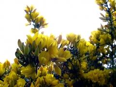 Obélisque - Français:   Ajoncs (Ulex europaeus) en fleur (mai 2001) sur le site de la colonne (obélisque) d'Helfaut (nord de la france, audomarois).  Le site (lieux dit: Les bruyères) était autrefois entouré d'une vaste étendue de landes à bruyère (Bruyère centrées = Erica cinerea principalement sur cette partie relativement sèche). Après remodelage et apports de nouveaux matériaux elles ont pour la plupart disparu, au profit d'une végétation banale. En 2001, les ajoncs avaient beaucoup grandi et colonisé la partie périphérique basse du site, avec de belles floraisons. Lieu: Plateau d'Helfaut, côté de son flanc nord, entre les réserves naturelles d'Helfaut et de Blendecques et une grande carrière de craie, qui a servi de lieu de tir pour les militaires.   Rem: Ce site n'a pas été inclus dans l'actuelle Réserve naturelle des Landes d\'Helfaut (l\'une des anciennes «réserves naturelles volontaires» , devenues depuis «réserves naturelles régionales») de la Région Nord/Pas-de-Calais et l\'une des quatre de ces réserves mises en place en guide de mesure compensatoires à la fragmentation supplémentaire du plateau d\'Helfaut pas la VNVA (Voie nouvelle de la vallée de l\'Aa) plus souvent nommée «Contournement d\'Heuringhem» malgré les suggestion de la Région et de la Diren.