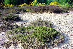 Obélisque - Français:   Photo prise sur le Plateau d\'helfaut près de la fr:Colonne d\'Helfaut (près de fr:Saint-Omer (Pas-de-Calais), dans le Pas de Calais, en France.  Sur une zone sableuse, naturellement oligotrophe et acide, décapée, les bruyères callune et tetralix ont formé un tapis ras, entretenu par les lapins.   Sur les zones décapés par le surpiétinement, le sable reste relativement maintenu en place fixé par un biofilm d\'algues et bactéries ou microlichens et substance mucilagineuses produites par les organismes qui y vivent (dont micro champignons). On y trouvait autrefois des lichens au sol, mais mais qui ont fortement régressé (et presque disparu) en raison de la pollution de l\'air dans cette zone (agriculture intensive et 4 papeteries et une grande verrerie cristallerie à proximité).