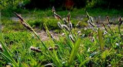 Obélisque - Français:   Carex (non identifié) en fleur (mai 2001) sur le site de la colonne (obélisque) d'Helfaut (nord de la france, audomarois).  Le site (lieux dit: Les bruyères) était autrefois entouré d'une vaste étendue de landes à bruyère (Bruyère centrées = Erica cinerea principalement sur cette partie relativement sèche). Après remodelage et apports de nouveaux matériaux elles ont pour la plupart disparu, au profit d'une végétation banale. En 2001, les ajoncs avaient beaucoup grandi et colonisé la partie périphérique basse du site, avec de belles floraisons. Lieu: Plateau d'Helfaut, côté de son flanc nord, entre les réserves naturelles d'Helfaut et de Blendecques et une grande carrière de craie, qui a servi de lieu de tir pour les militaires.   Rem: Ce site n'a pas été inclus dans l'actuelle Réserve naturelle des Landes d\'Helfaut (l\'une des anciennes «réserves naturelles volontaires» , devenues depuis «réserves naturelles régionales») de la Région Nord/Pas-de-Calais et l\'une des quatre de ces réserves mises en place en guide de mesure compensatoires à la fragmentation supplémentaire du plateau d\'Helfaut pas la VNVA (Voie nouvelle de la vallée de l\'Aa) plus souvent nommée «Contournement d\'Heuringhem» malgré les suggestion de la Région et de la Diren.