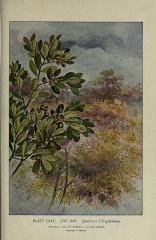 Ancienne grange d'Outre-Aube -  PLATE CXXX. LIVE OAK. Quercus Vtrginiana.   COPYRIGHT, 1900, 9Y FREDERICK . STOKES COMPANY.    PRINTED IN AMERICA.