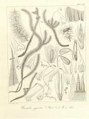 Ancienne grange d'Outre-Aube -  Bryologia javanica: seu, descriptio muscorum frondosorum archipelagi indici iconibus illustrata /