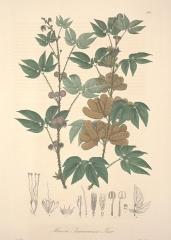 Ancienne grange d'Outre-Aube -  Mimosa