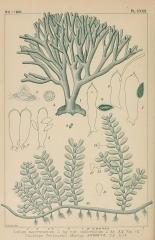 Ancienne grange d'Outre-Aube -  PL.CXXX.   Codium mucronatum J. Ag. var. californicum J. As. &.% Fig 1 . 1-9.    Caulerpa Ferguson!! Murray ,$*.