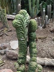 Aqueduc de Nîmes - Español: Echinopsis Pachanoi o Trichocereus, también llamado «cactus Cerebro». Es un mienbro de la familia de las Cactáceas, originario de las zonas montañosas del sur de Ecuador, norte del Perú, Bolivia y norte de Argentina. Son plantas de crecimiento rápido, de aspecto raro y especial y en las que muchas veces faltan las espinas. Su similitud con la forma del cerebro humano ha propiciado que se le dé el ya citado nombre. También se les conoce por otros nombres: «Wachuma», «Olala», «Huachuma», «Agua colla», «Sampedrillo», «Huando», etc. Una variedad de este cactus es el llamado de «San Pedro Crestado» (Trichocereus pachanoi cristata).