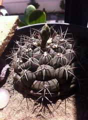 Aqueduc de Nîmes - Español: Cactus de forma globosa del genero Gymnocalycium, cuenta con un conjunto de 7 espinas de hasta 2.5 centímetros.