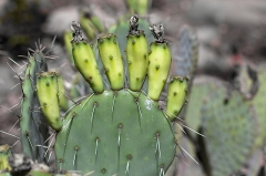 Aqueduc de Nîmes - English: Cactus Greens
