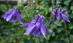Jardin botanique alpin dit La Jaysinia - Latina: Aquilegia alpina