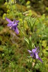 Jardin botanique alpin dit La Jaysinia - Latina: Aquilegia vulgaris