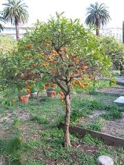 Propriété dite Le Palais Carnoles - English: Small orange tree in the garden of the palais de Carnolès (Alpes-Maritimes, France).