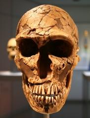 Gisement préhistorique de la Ferrassie - Deutsch: Abguss des Schädels eines Neandertalers aus La Ferrassie, Frankreich, ca. 50.000 Jahre; Staatliches Museum für Archäologie Chemnitz