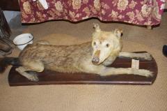 Château - Français:   Loup naturalisé, tué à Augignac en 1904 - musée des tisserands à Varaigne, Dordogne, France