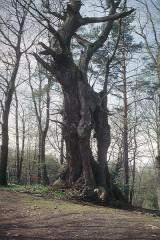 Ruines du château Guirbaden - Deutsch: Alter Baum bei Burg Girbaden