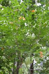 Jardin botanique - Feuillage (fleurs et jeunes fruits) de Colutea orientalis - Jardin botanique de Strasbourg - France