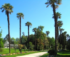 Jardin Massey - English: An avenue of Trachycarpus fortunei in Jardin Massey, Tarbes, France.