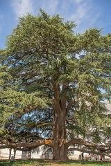 Ancien archevêché, actuellement musée des Beaux-Arts - Français:   À Tours (Indre-et-Loire), situé dans la Cour d\'Honneur du Musée des Beaux-Arts, il a été planté en 180416, sous la présidence du général-préfet de Pommereul et fait partie des arbres remarquables de France labelisé en mai 2001;