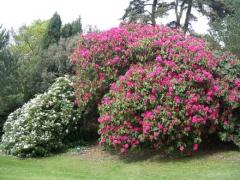 Domaine du Bois des Moutiers - English:   A shrub of rhododendron in le Bois des Moutiers0