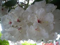 Domaine du Bois des Moutiers - English:   Magnified rhododendron\'s flowers of le Bois des Moutiers. It is not the species R. decorum