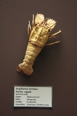 Museum - Petite cigale (Scyllarus arctus), Muséum d'histoire naturelle de Perpignan