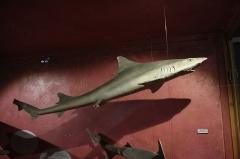 Museum - Requin hâ (Galeorhinus galeus), Muséum d'histoire naturelle de Perpignan