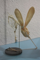 Museum - Otopteryx volitans reconstitué au Muséum d'histoire naturelle de Perpignan (2018)