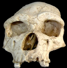 Grotte de la Caune de l'Arago -  Tautavel Man (Homo erectus tautavelensis) from 450 kya Arago Cave, France