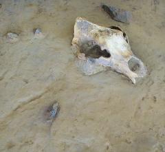 Grotte de la Caune de l'Arago - English: Musée de Préhistoire, Tautavel (Perpignan-region, France): Cave bear (Ursus deningeri) from Arago cave, archaeological context of finds as displayed in the Musée de Préhistoire