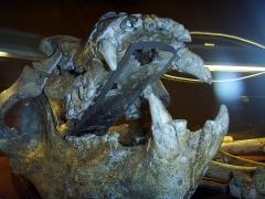 Grotte de la Caune de l'Arago - English: Musée de Préhistoire, Tautavel (Perpignan-region, France): Cave bear (Ursus deningeri) from Arago cave