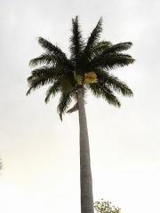 Muséum d'Histoire Naturelle -  Description: Palmier colonne dans le Jardin de l'Etat, novembre 2004, Saint-Denis de la Réunion   Source:Bouba