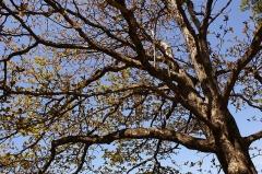 Muséum d'Histoire Naturelle - English: The crown of an old Indian Almond (Terminalia catappa) when new foliage appears, in the Jardin de l'État of Saint-Denis de La Réunion