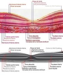 Imagerie Pellerin (bâtiments et machines qu'ils renferment) - Français:   Histologie de la macula en OCT