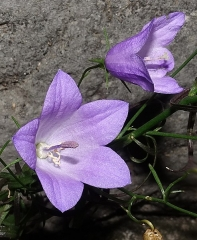 Château - English: Flower on the yard of the Annecy Castle