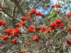 Domaine du Rayol - English: Domaine du Rayol - Flowers of Erythrina lysistemon. Rayol-Canadel-sur-Mer (Var, France).