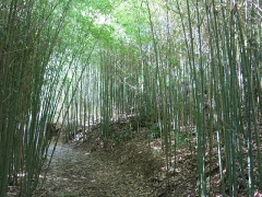Domaine du Rayol - English: Domaine du Rayol - Bamboos of the subtropical Asian garden. Rayol-Canadel-sur-Mer (Var, France).