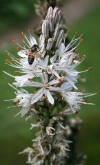 Jardin botanique alpin dit La Jaysinia - Latina: Asphodelus albus